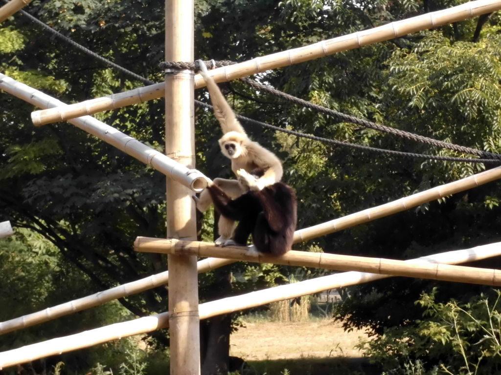 Gibbons im Tierpark Berlin