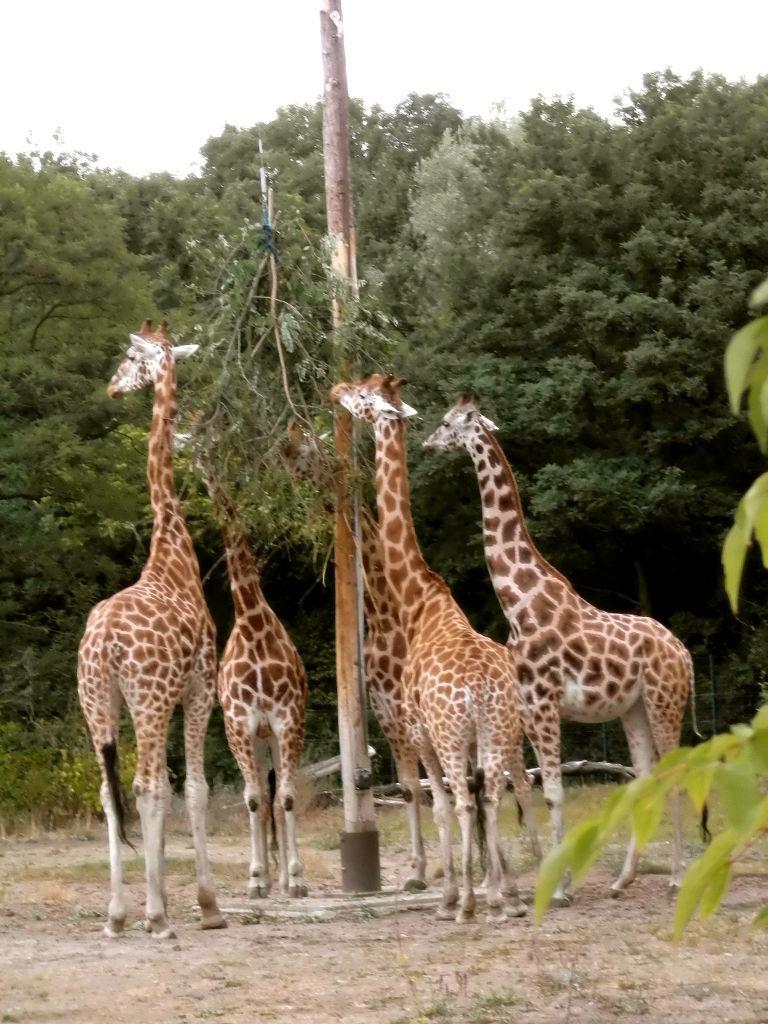 Giraffenfütterung im Tierpark Berlin