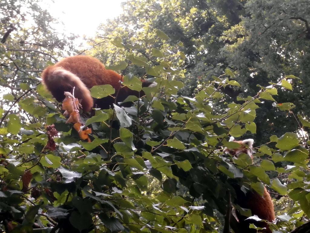 balgende Katzenbären im Tierpark Berlin