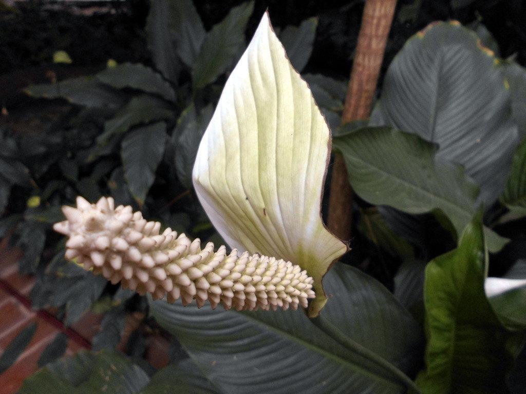 exotische Pflanze Anthurium im Tierpark Berlin