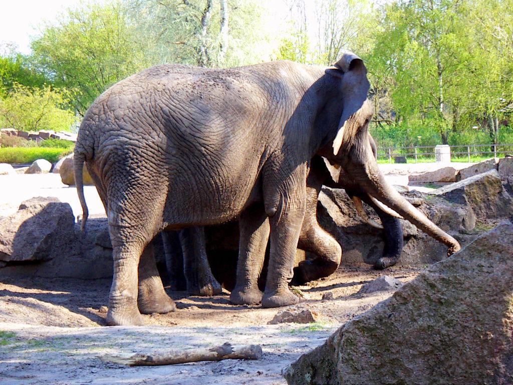 zwei hintereinander stehende Elefanten im Tierpark Berlin